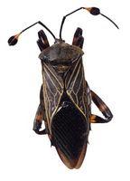 Cómo matar a un insecto de la calabaza con las soluciones hechas en casa