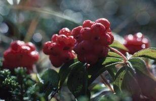 De hoja perenne arbustos con frutos rojos