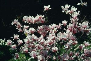 Magnolia cuidado de los árboles de madera dura y esquejes
