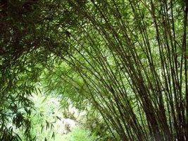 Cómo plantar bambú como una frontera