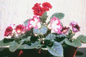 Instrucciones para el cuidado de plantas Gloxinia