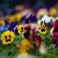 Cuál es el significado de la flor del pensamiento?