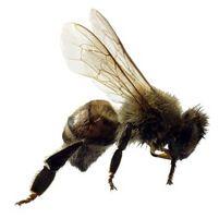 Las abejas hacer trabajo pagoda de árboles?