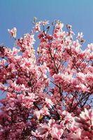 Cómo para polinizar un cerezo con una cereza árbol de ciruelo