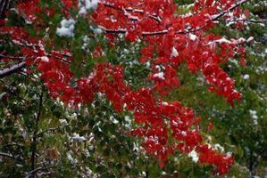 Las hojas de un árbol de arce rojo están muriendo