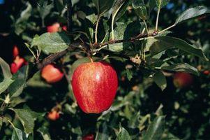 Cómo podar los árboles de Apple de un solo vástago