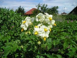 Cómo podar plantas de patata