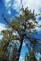 ¿Cómo hacer crecer el lloro de una rama de hoja perenne