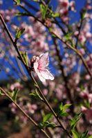 Con flores de almendro plagas de los árboles