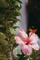Como para el invierno una planta perenne del hibisco