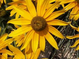 Lo Flores de la planta en el noreste de Pennsylvania