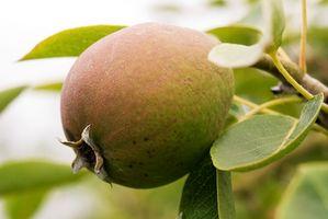 El mejor momento para podar un árbol de pera