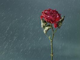 Las manchas negras en los pétalos de Rose