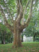 Los árboles de sombra que no goteen Sap