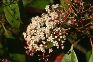 Las manchas en Red Tip Arbustos