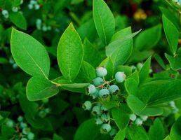 Blueberry plantas y las hojas amarillas