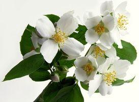 Los mejores jazmines de cultivar en interior Como Casa de las plantas