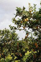 Cosas que ayudan a los limones Grow