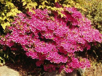¿Cómo encontrar arbustos plantas enanas