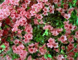 Cómo cuidar de las plantas de azalea en la zona 6