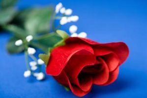 Las desventajas de las rosas Genéticamente Modificados