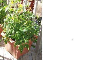 Acerca de las plantas de tomate