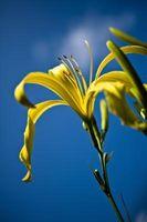 Buenas Flores Planta para el clima caliente