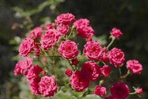 Cuidado del invierno por arbustos de rosas