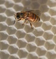 La vida de una abeja reina