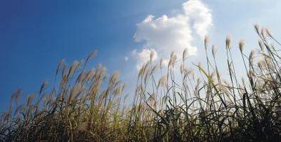 ¿Cuándo se occidental pasto de trigo en estado latente?
