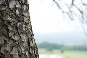 ¿Qué es esta sustancia pegajosa en el árbol de hoja perenne?