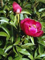 Peonías pueden ser extraídas y plantados tarde?