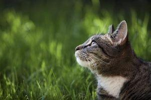 Los gatos pueden comer hierba ornamental?
