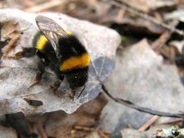 Cómo matar a las abejas Bumble Barn
