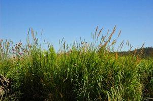 Cómo cultivar Bahia Grass