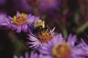 Relación entre abejorros y margaritas
