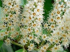 Alto arbustos de hoja perenne