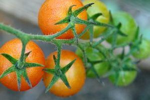 Lo que para rociar las plantas con el tomate