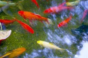 Cómo calcular el volumen de un estanque de peces