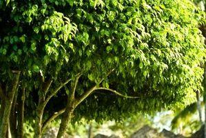 La cantidad de luz para un Ficus?