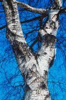 Cómo Edad árboles de abedul de plata