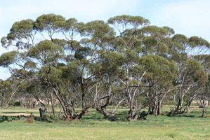 Los insectos que son atraídos por el árbol de eucalipto