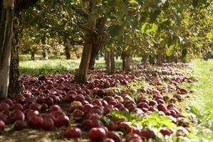 Cómo regar los huertos de manzanos