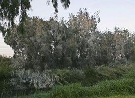 Cuando podar los árboles de eucalipto