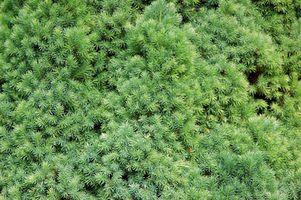 Árboles de hoja perenne para sombra parcial