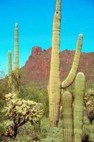 Los problemas de hongos en un cactus
