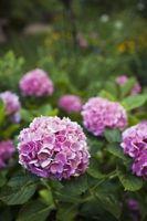 Cómo cultivar semillas de hortensia