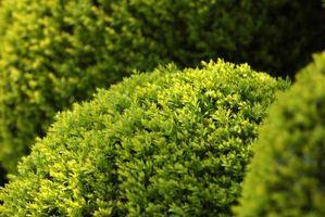 Los arbustos y plantas enanas