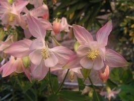 El significado de la flor de Columbine