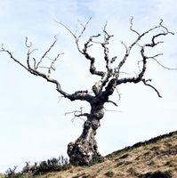 Los signos de un árbol muerto caerá Pronto